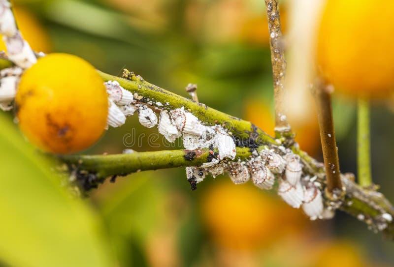 Pest mealybug closeup on the citrus tree.  stock images