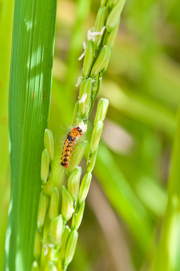 Download Pest,  in Paddy rice field stock image. Image of plant - 20822373