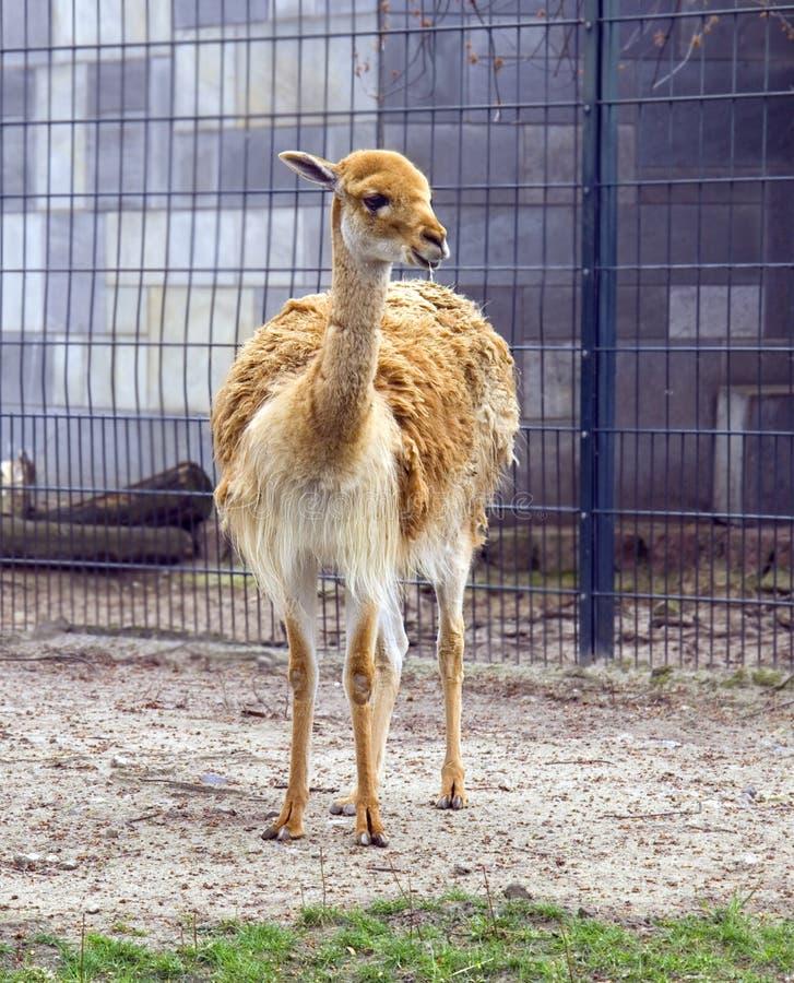 Pestaña animal del Artiodactyla del rumiante de la alpaca del lama foto de archivo