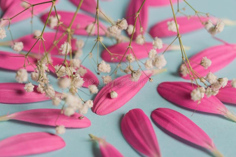 Pestals cor-de-rosa do gerbera no backgrond azul com flores brancas foto de stock