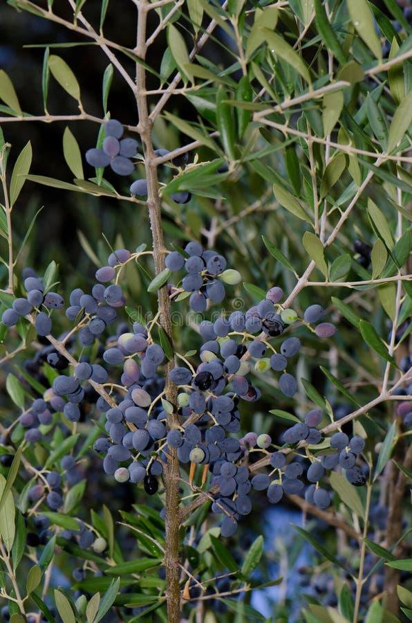 Pestczaki oliwka zdjęcie stock