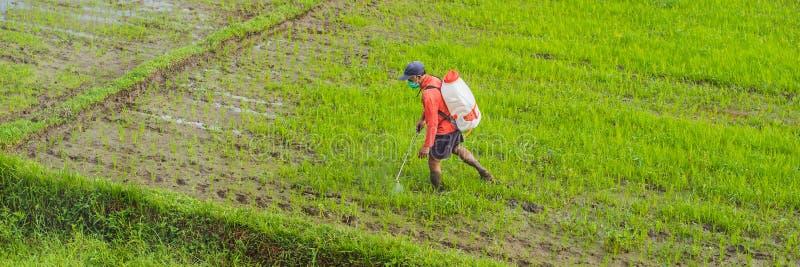 Pesticida de rociadura del granjero al arroz por el rociador del insecticida con una protección apropiada en la BANDERA del campo imagenes de archivo