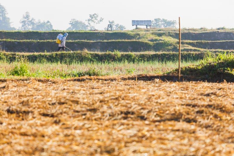Pesticida de rociadura del granjero en ricefield cosechado imagen de archivo