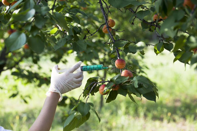 Pesticide injected in a fruit. Genetically modified food. Genetic engineering stock photos