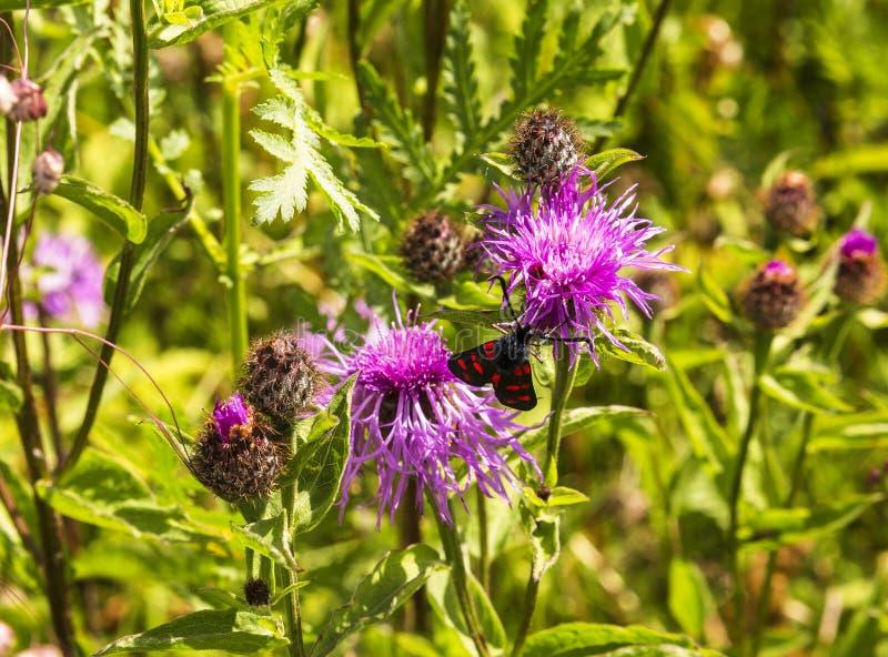 Pestryanka бабочки сидя на cornflower поля стоковые изображения