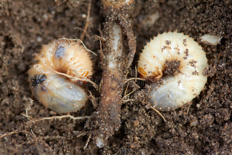 Pests control, insect, agriculture. Larva of chafer eats plant root. Pests control, insect, agriculture, spring soil preparation. Disgusting larvae of chafer royalty free stock image