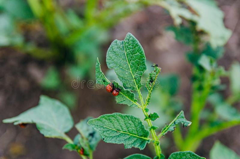 Pests in the garden. The larva of the Colorado potato beetle eats potato leaves royalty free stock images