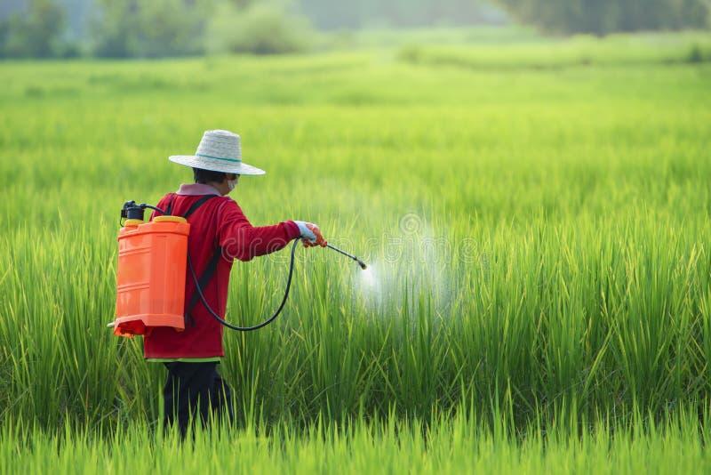 Pestycyd, rolnicy rozpyla pestycyd w ryż śródpolnej jest ubranym ochronnej odzieży zdjęcia stock