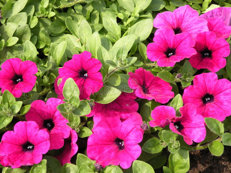 Petúnia cor-de-rosa imagens de stock