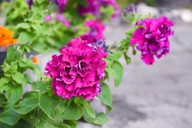 Petúnia cor-de-rosa bonito terry no canteiro de flores fotos de stock
