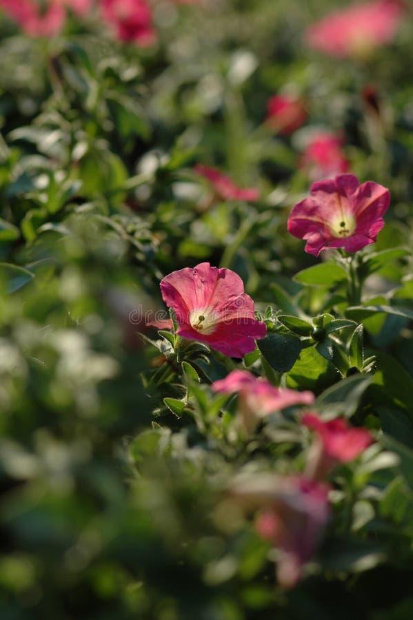 Petúnia Hybrida Vilm imagens de stock