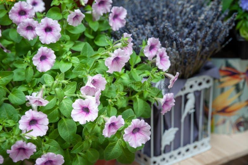 Petúnia na flor e na alfazema, flores de mola-verão foto de stock royalty free