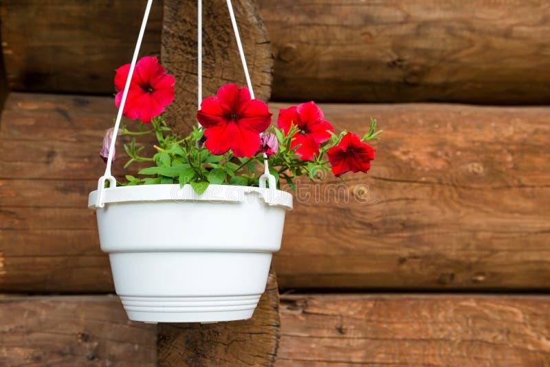 Petúnia vermelho da flor em um potenciômetro branco foto de stock royalty free