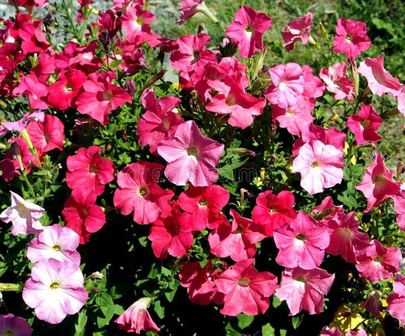 Petúnia vermelho de florescência no jardim imagens de stock royalty free