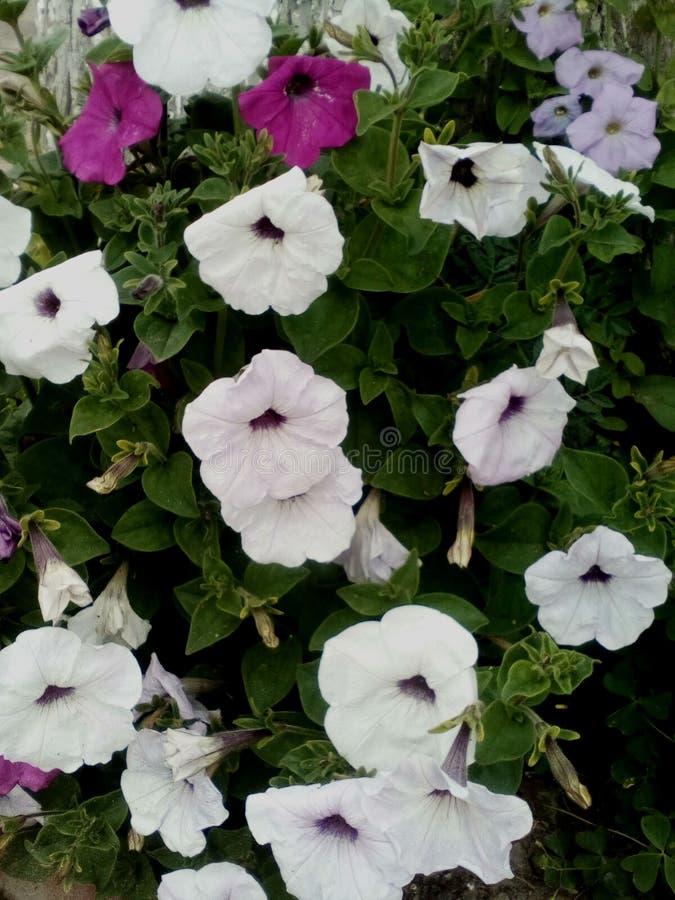 Petúnias do jardim da foto na rua imagem de stock