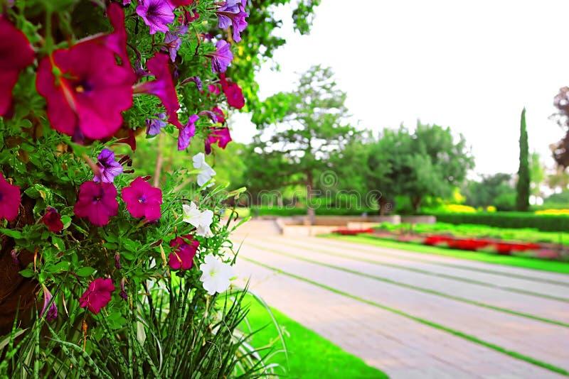Petúnias e estrada no parque Ramat Hanadiv, jardins memoráveis de Baron Edmond de Rothschild, Zichron Yaakov, Israel imagens de stock