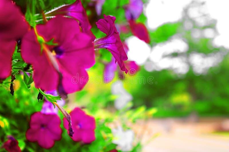 Petúnias no parque Ramat Hanadiv, jardins memoráveis de Baron Edmond de Rothschild, Zichron Yaakov, Israel fotos de stock royalty free