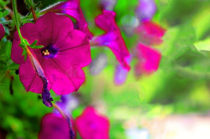 Petúnias no parque Ramat Hanadiv, jardins memoráveis de Baron Edmond de Rothschild, Zichron Yaakov, Israel imagem de stock royalty free