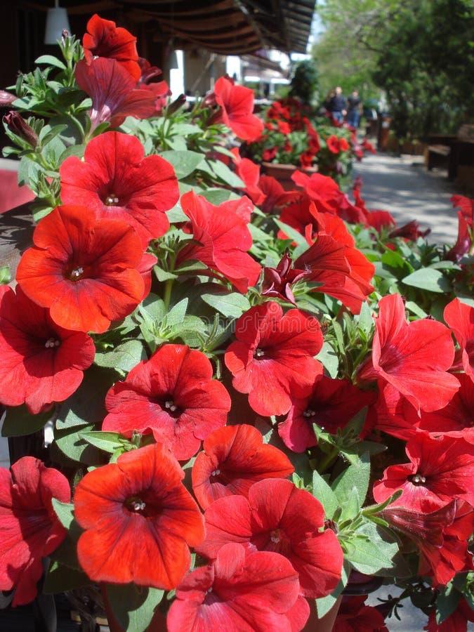Petúnias vermelhos ensolarados fotografia de stock royalty free