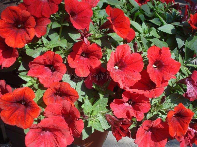 Petúnias vermelhos ensolarados no potenciômetro foto de stock