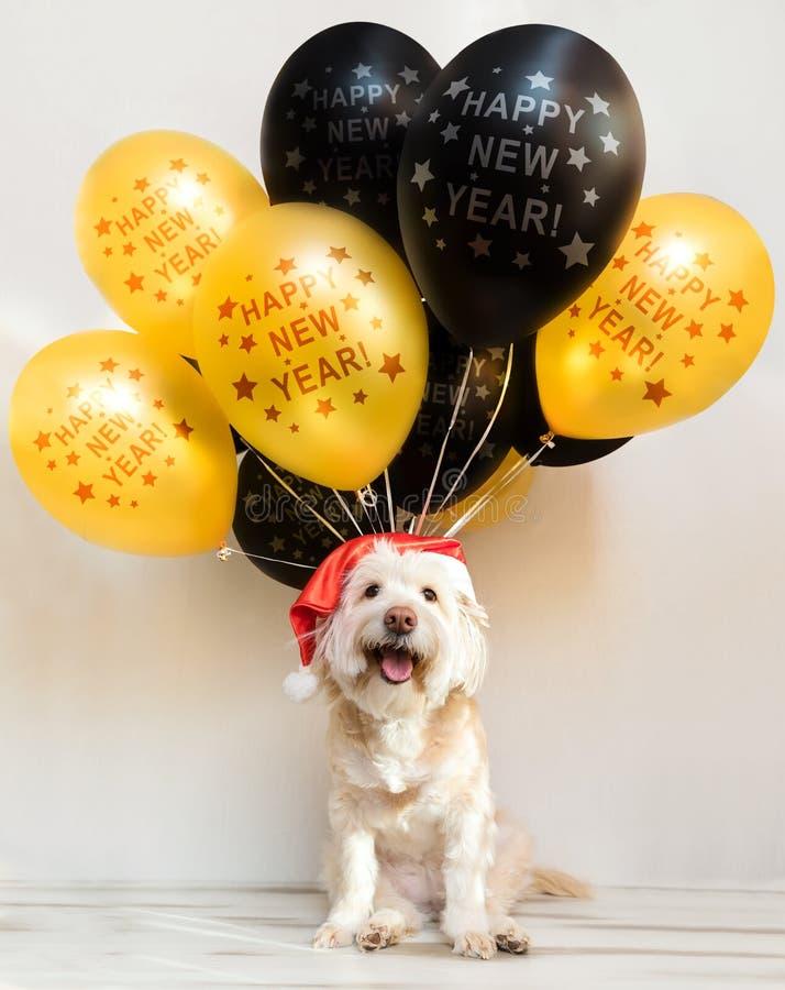Pet στο νέο έτος ΚΑΠ με τις διογκώσιμες σφαίρες Μπαλόνια καλή χρονιά χαιρετισμός Χριστουγένν&ome Κίτρινο σκυλί έτους στοκ εικόνες