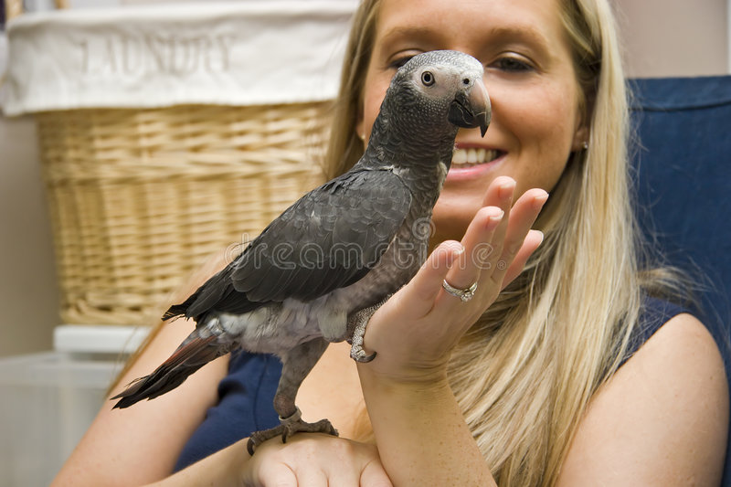 Pet African Grey royalty free stock photo