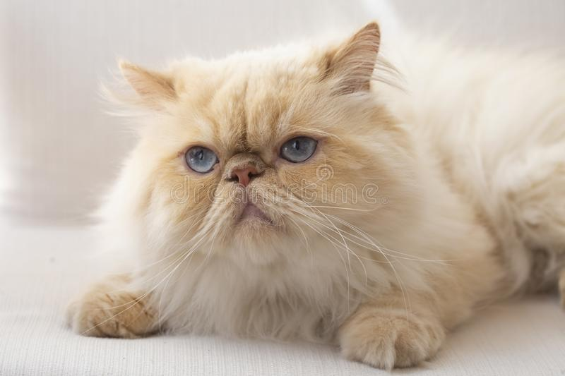 Pet animal; cute cat indoor. Blue eyed Persian cat.  royalty free stock images