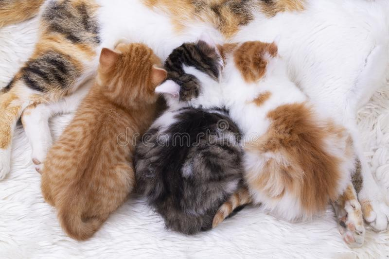 Pet animal; cute kitten baby cat and mother cat stock photo