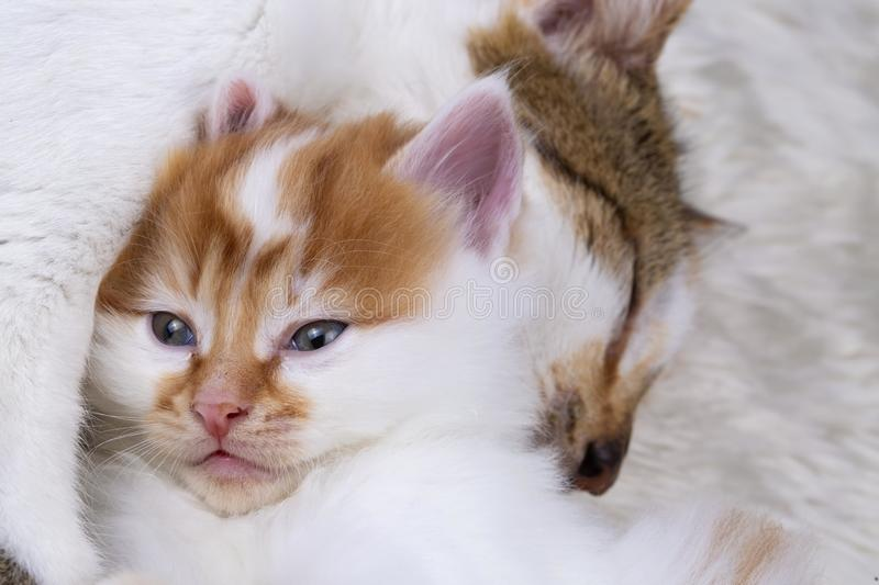 Pet animal; cute kitten baby cat and mother cat stock photography