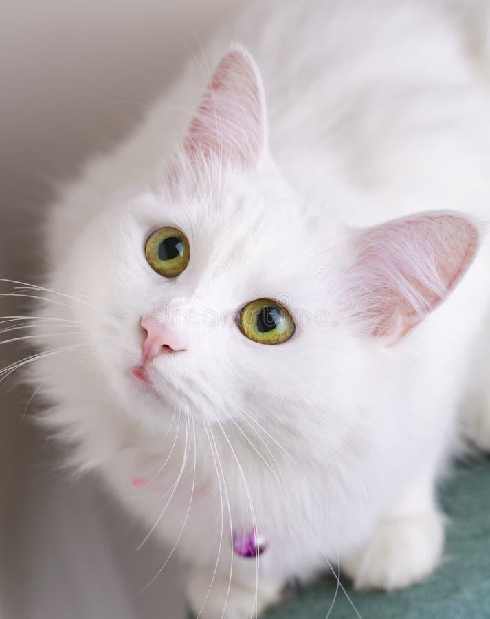 Pet animal; cute white cat. Turkish Ankara Cat.  stock images