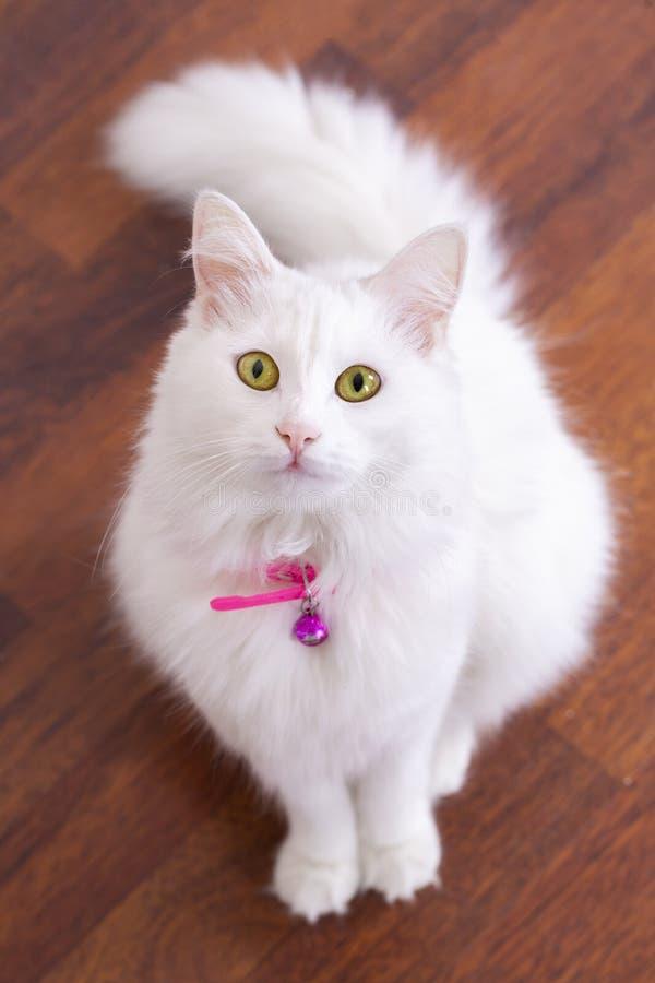 Pet animal; cute white cat. Turkish Ankara Cat.  stock image