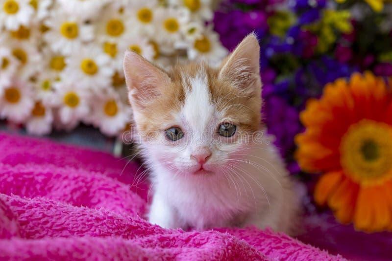 Pet animal; down syndrome kitten cat indoor.  stock photos