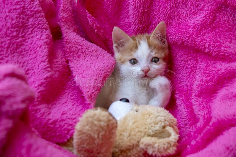 Pet animal; down syndrome kitten cat indoor.  royalty free stock photos