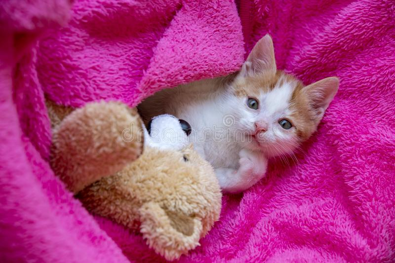 Pet animal; down syndrome kitten cat indoor.  royalty free stock image