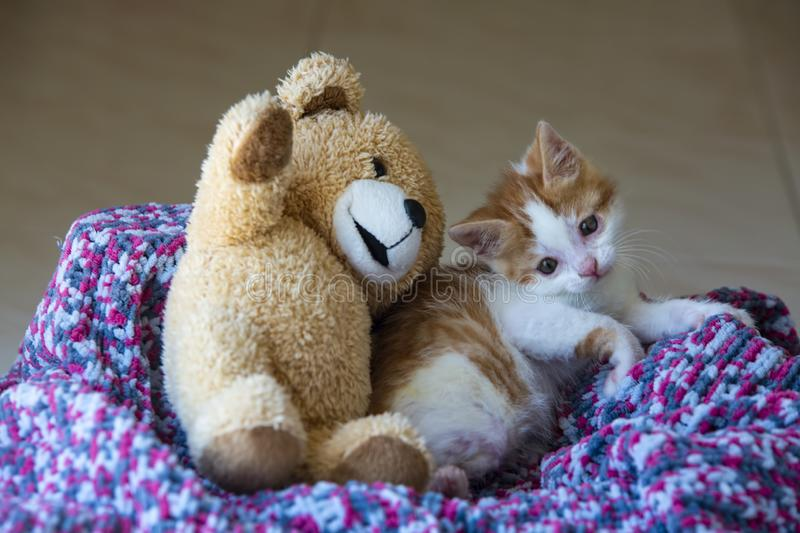 Pet animal; down syndrome kitten cat indoor.  stock images