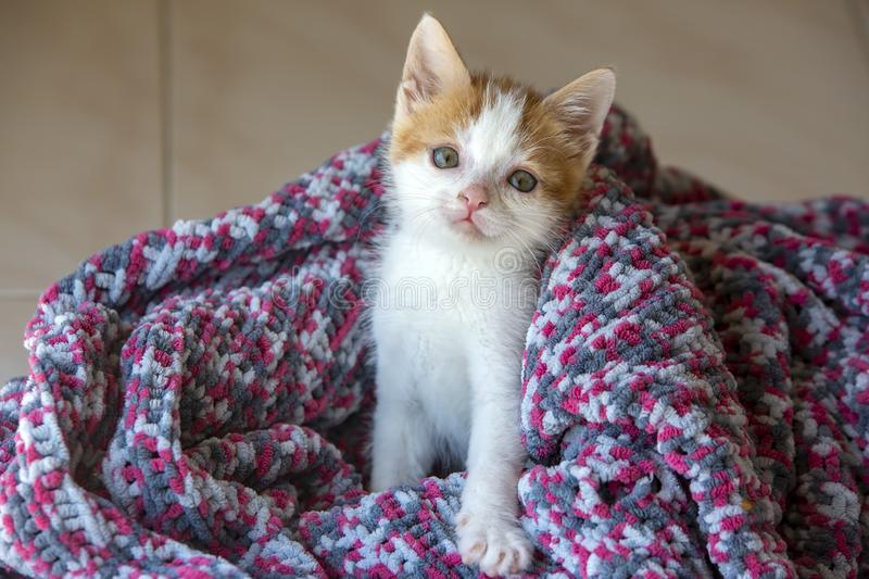 Pet animal; down syndrome kitten cat indoor.  royalty free stock images
