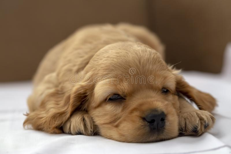 Pet animal; English Cocker Spaniel puppy sleeping indoor stock photos