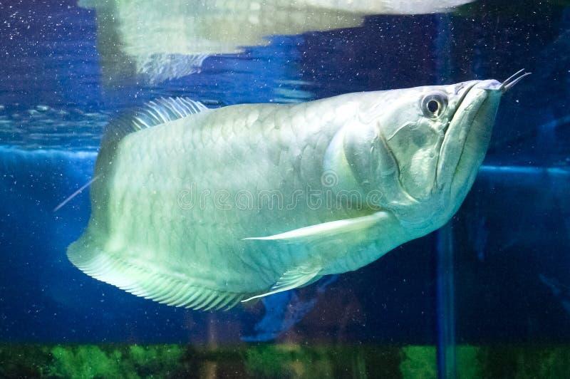 Download Pet Arowana stock image. Image of depth, marine, whiskers - 44250603