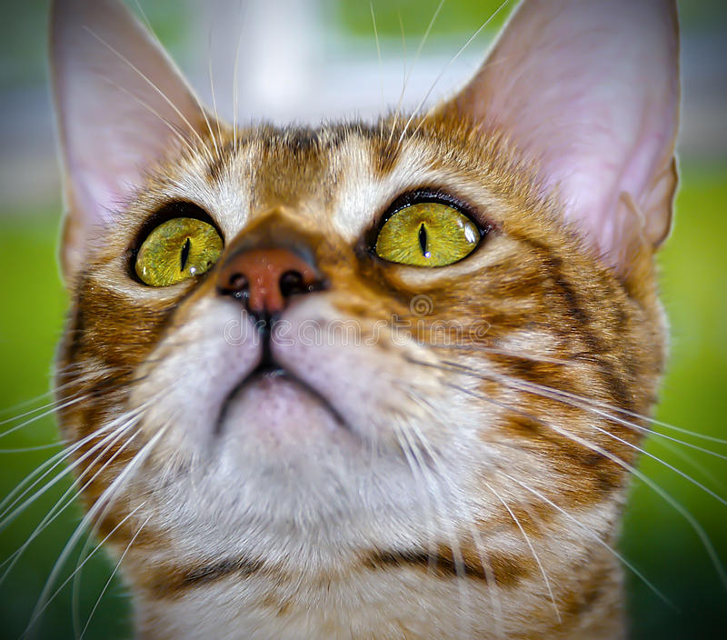Tabby Cat staring upwards. Tabby Cat looking upwards with staring green eyes stock photo