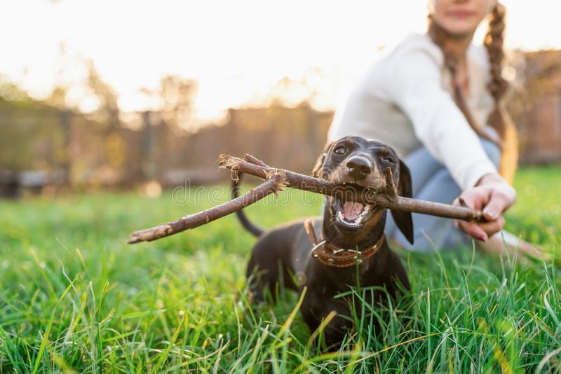 Funny dachshund playing with her owner in the grass stock image