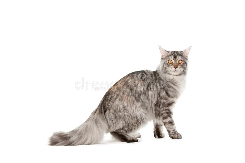Download Pet cat stock photo. Image of cute, feline, animal, playing - 25021826