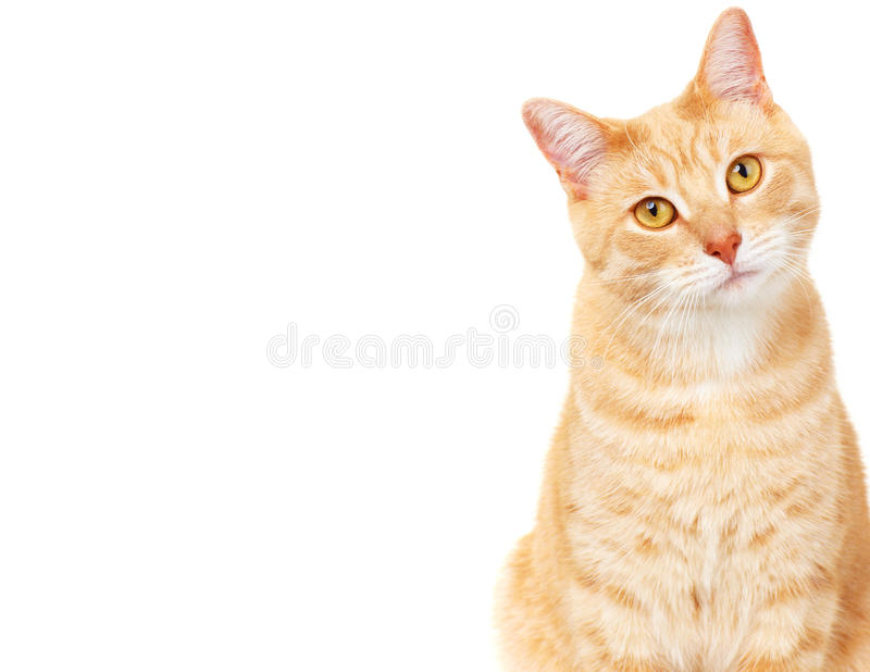 Pet cat. Ginger Cat isolated over white background. Animal portrait