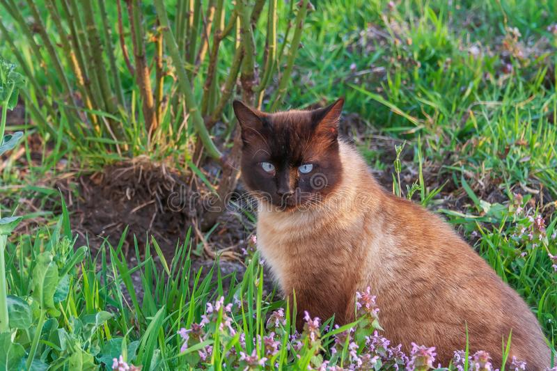 Pet cat adult Siamese coloring royalty free stock image