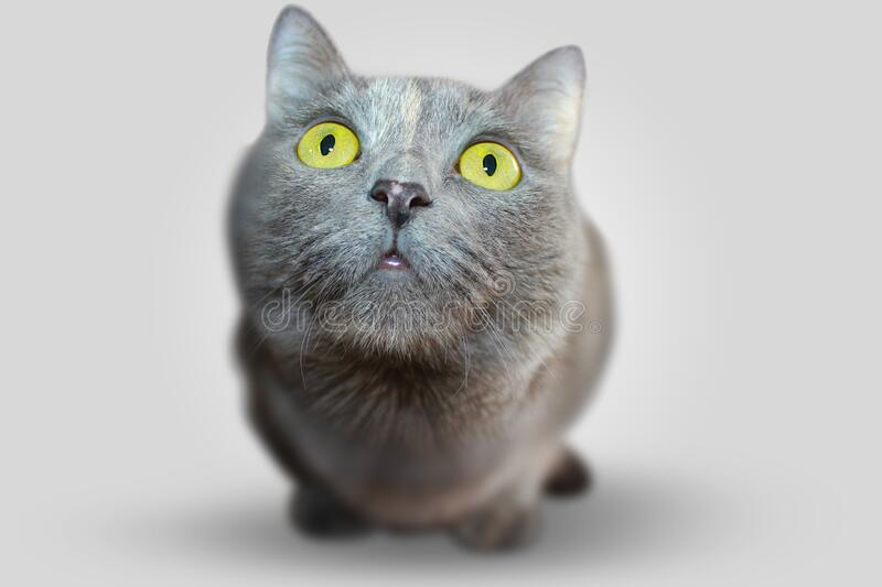 Pet cat with staring yellow eyes royalty free stock image