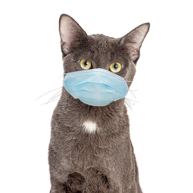 Free Pet Cat Wearing Protective Surgical Face Mask Royalty Free Stock Image - 179348996