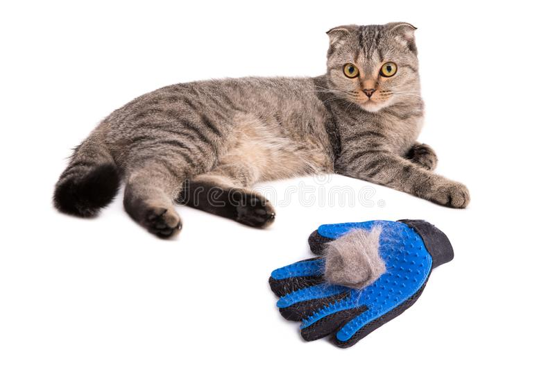 Pet coat with a special glove. Lying cat on a white background. Glove brush. Gray Scottish cat and a glove for collecting animal hair, fold, fur, wool, clean royalty free stock photography