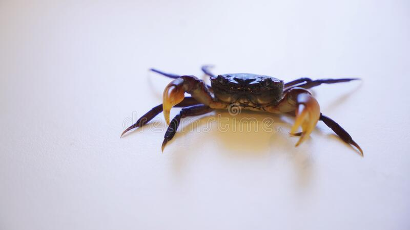 Pet Crab in defence position on white background,. Photo of a purple male pet crab in defence position on white background,  powerful claws and standing still stock photography