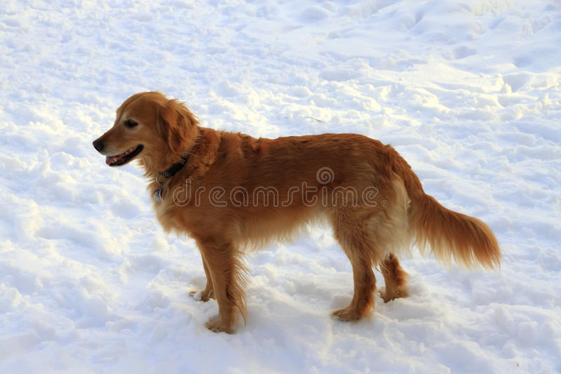 Download Pet Dog Stock Image - Image: 12987061