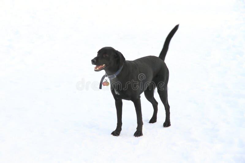 Download Pet Dog stock photo. Image of black, york, park, winter - 12987120