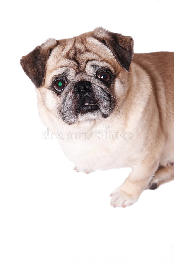 Pet dog. Lovely pet dot looking at camera isolated on white stock images